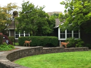 My first deer sighting on campus occurred earlier in June!